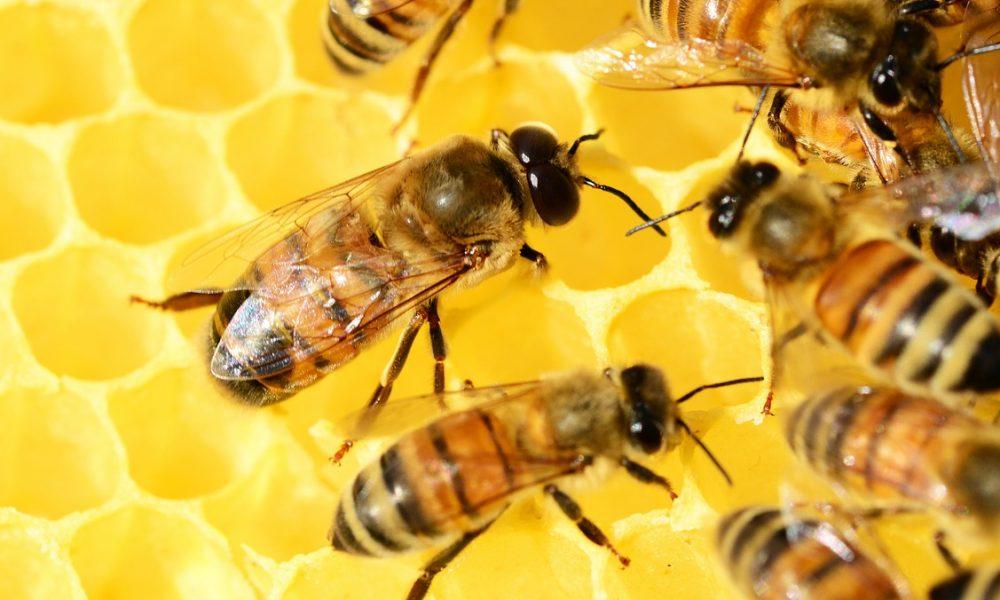 Pszczoły- słodkie Królestwo